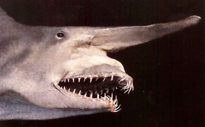 People S Daily Online Living Fossil Goblin Shark Caught Alive In Japan
