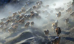 Incredible animal migration in Xinjiang