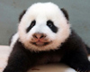 Panda Cubs to Predict 2014 World Cup Winners