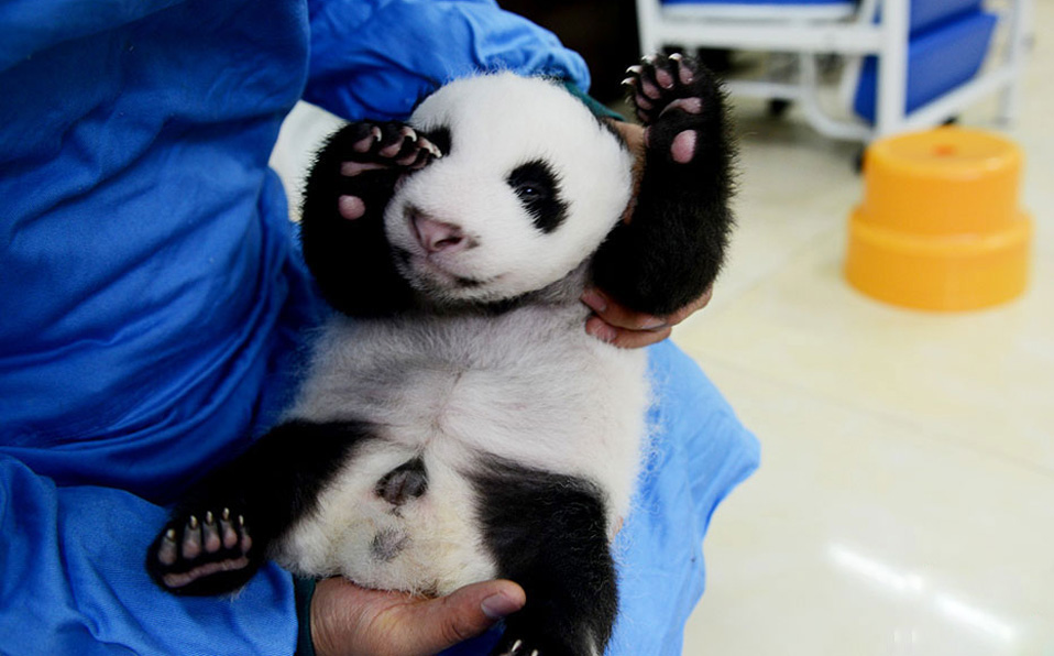 Heart melting! Adorable panda cubs shown public
