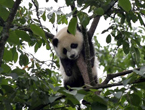 Giant panda cubs have fun at 'kindergarten'