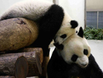 Panda cub Yuan Zai plays with mother at Taipai Zoo