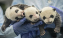 Rare set of giant panda triplets turn one month old