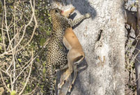 Jungle law: leopard preys on impala