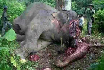 Elephant beheaded, tusks stolen in SW China