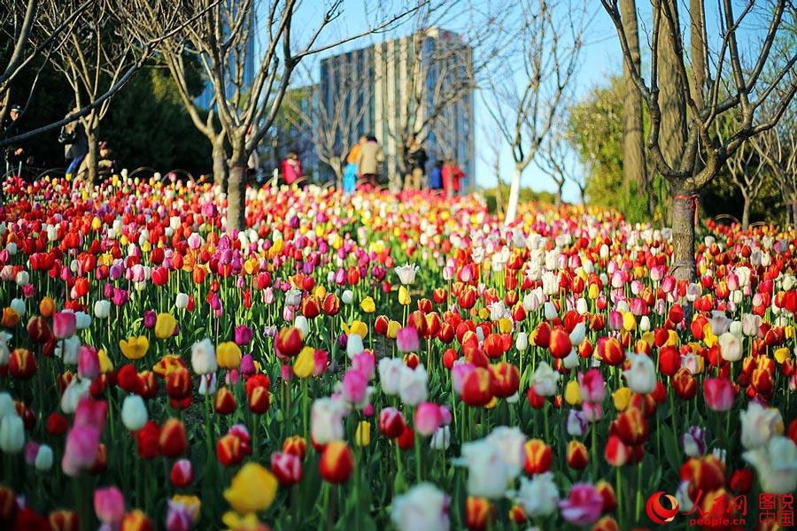 上海春天郁金香盛开 - 及时渔、及时语 - 及时渔的空间