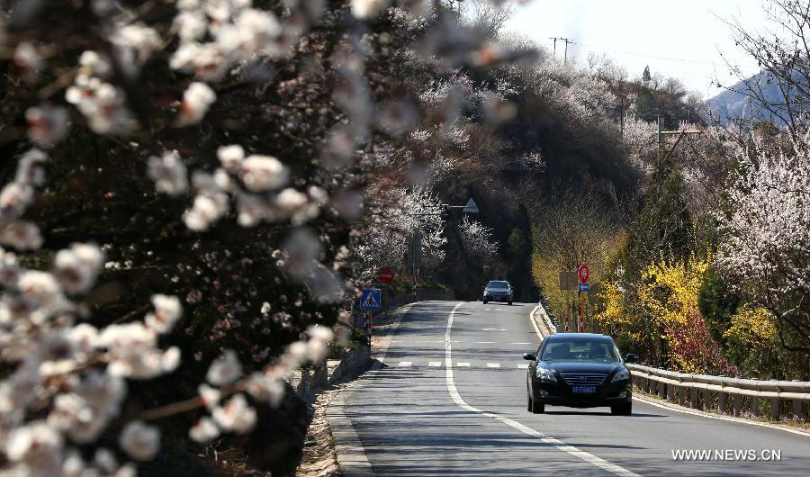 Flowers are in full blossom near the No. 111 national road in the Huairou District of Beijing, capital of China, April 7, 2015. (Xinhua/Bu Xiangdong)