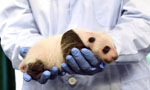 Giant panda cub receives medical care in Guangzhou