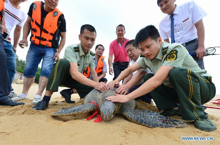 Accidentally-caught green turtle released to sea in Fujian