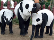 Thailand Elephants Disguised as Pandas Sparks Debates