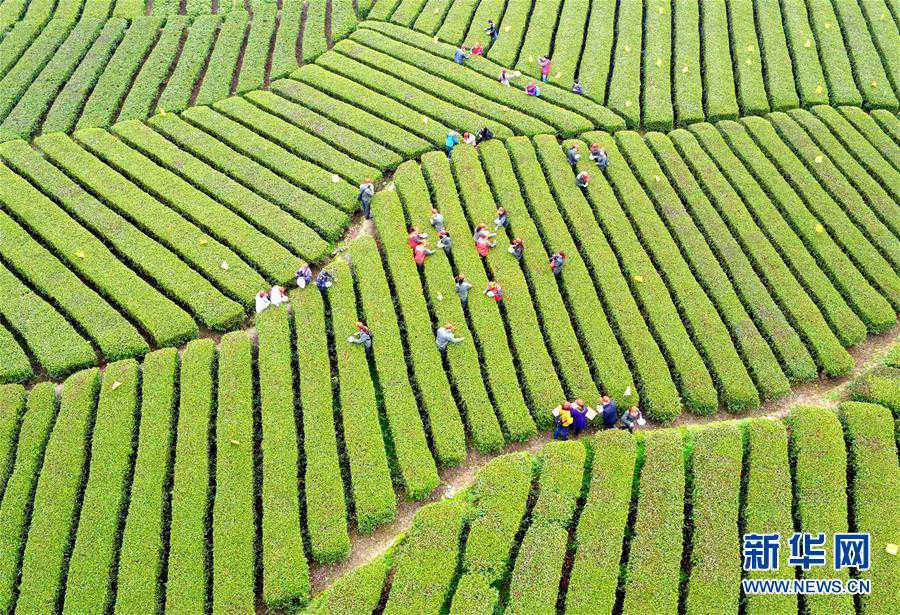 Aerial photos of tea garden in C China