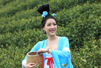 Beauties wearing Tang dynasty costume pick tea leaves