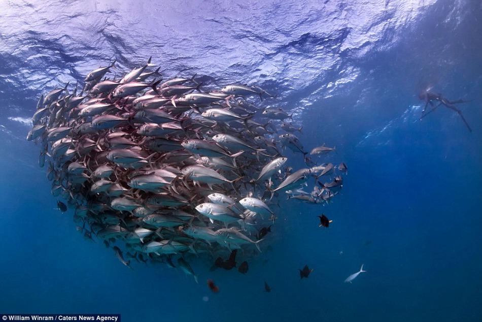 Ocean explorer captures the incredible moment a school of for Ocean explorer fishing