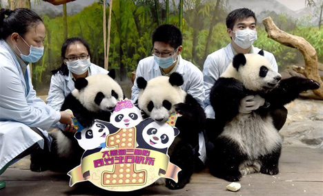 Birthday celebration of world's only surviving panda triplets