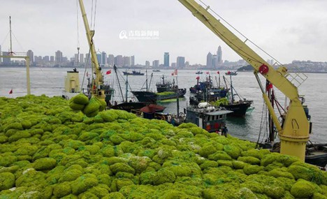 People clear 7 tons of sea weed in east China