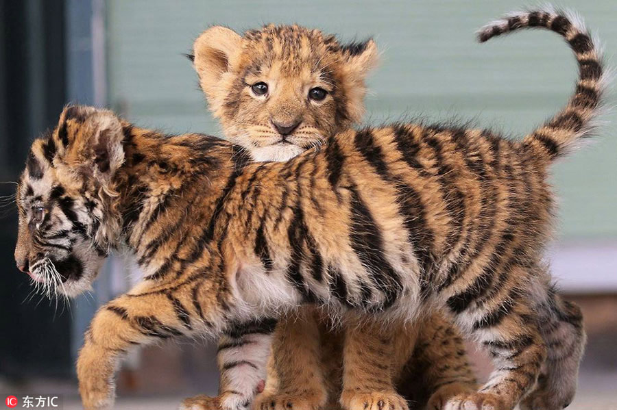 Heart warming cute tiger and lion cubs become best friends in an adorable tiger cub and lion cub were recently spotted palling around in the african safari park in japans oita prefecture the park has been documenting thecheapjerseys Image collections