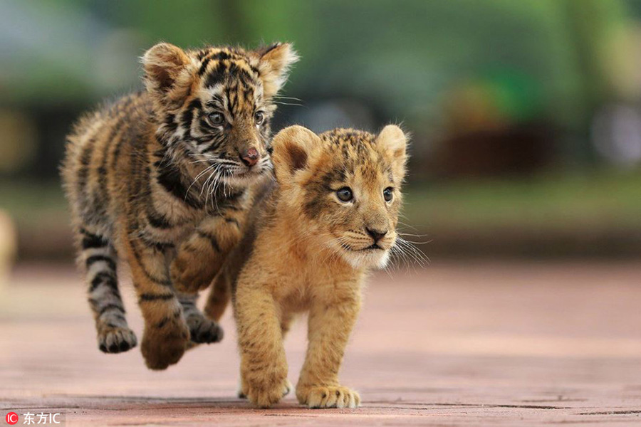 Heart-warming! Cute tiger and lion cubs become best ...