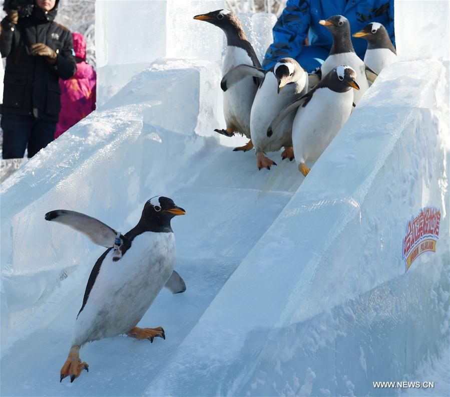 Penguins from Harbin Polarland try an ice slide outdoors in Harbin, capital of northeast China's Heilongjiang Province, Dec. 26, 2016.