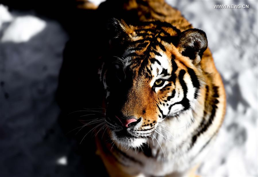 Animals winter at Siberian Tiger Park in NE China
