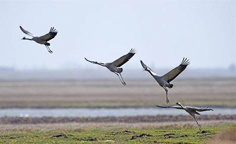 Migrant birds in East Dongting Lake ready to fly back