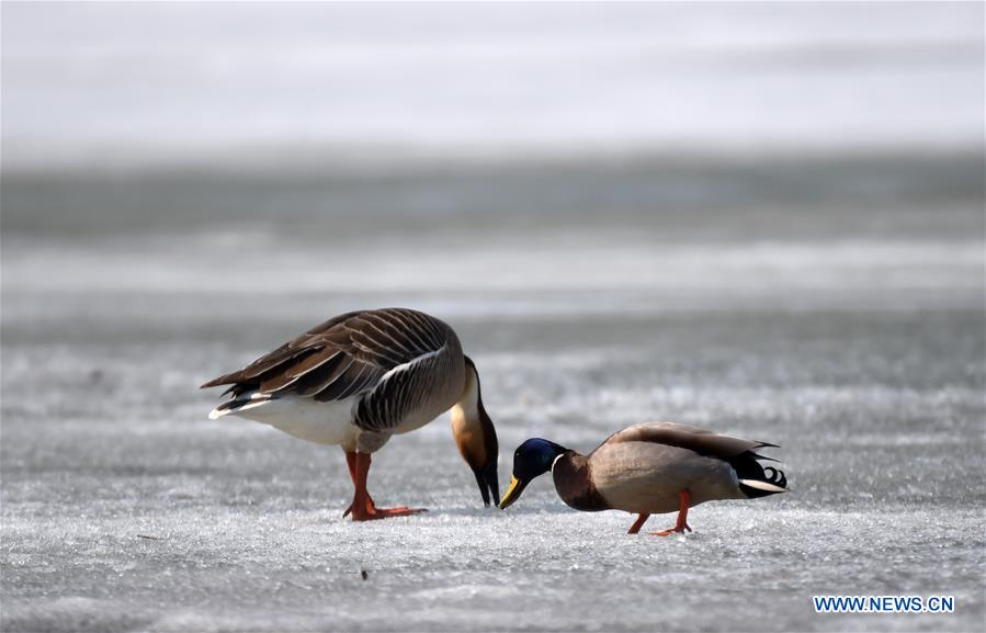 Migratory birds rest on Xingkai Lake on way back to north