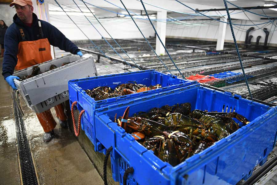 How Chinese gave new life to Maine lobsters