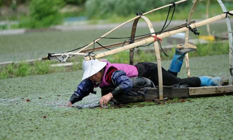 For 10 hours, farmers laboriously reap floating harvest