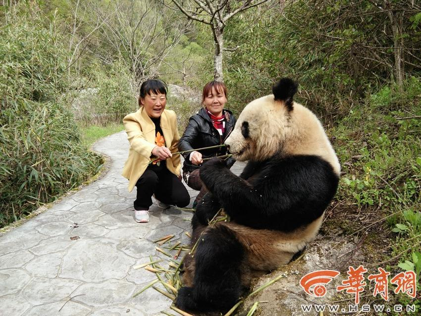Wild giant panda wanders into Shaanxi nature reserve