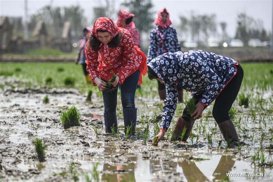 Under the guidance of a local farmer, a foreign student (L) from Shenyang Normal University experiences transplanting rice seedlings in Panjin of northeast China's Liaoning Province, May 21, 2017. (Xinhua/Pan Yulong)