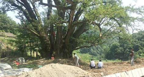 'No. 1 Tree in Six Central-South Chinese Provinces' Comes Back to Life