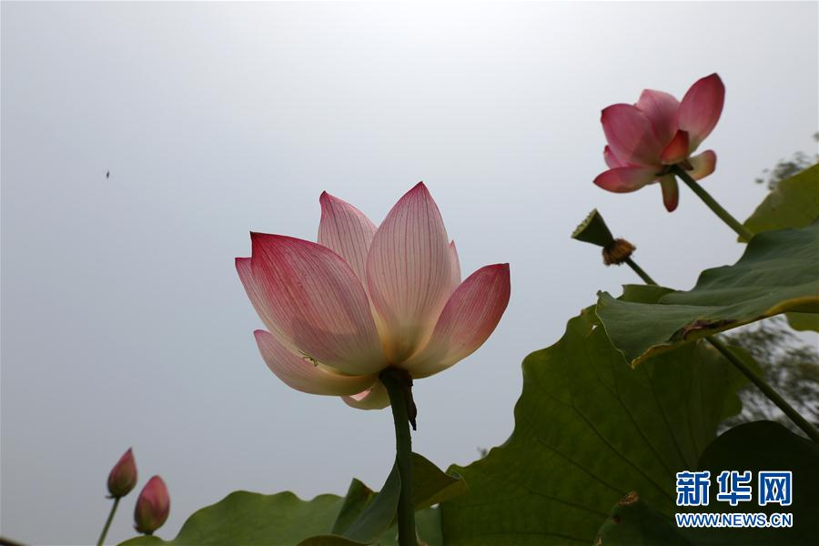Lotus Flowers In Shandong Peoples Daily Online