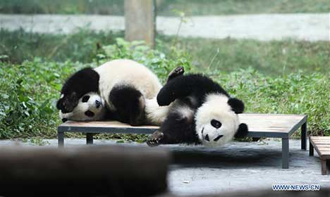 Giant pandas' happy life at Chongqing Zoo