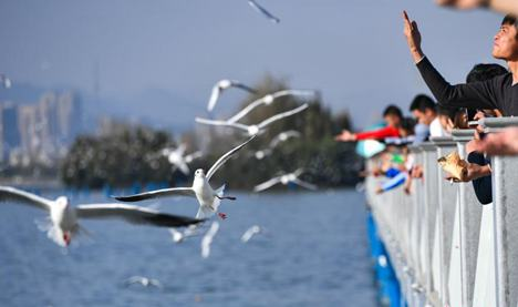 Black-headed gulls arrive at Yunnan for winter