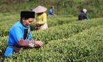 Chinese tea exports promote Belt & Road ties and alleviate poverty