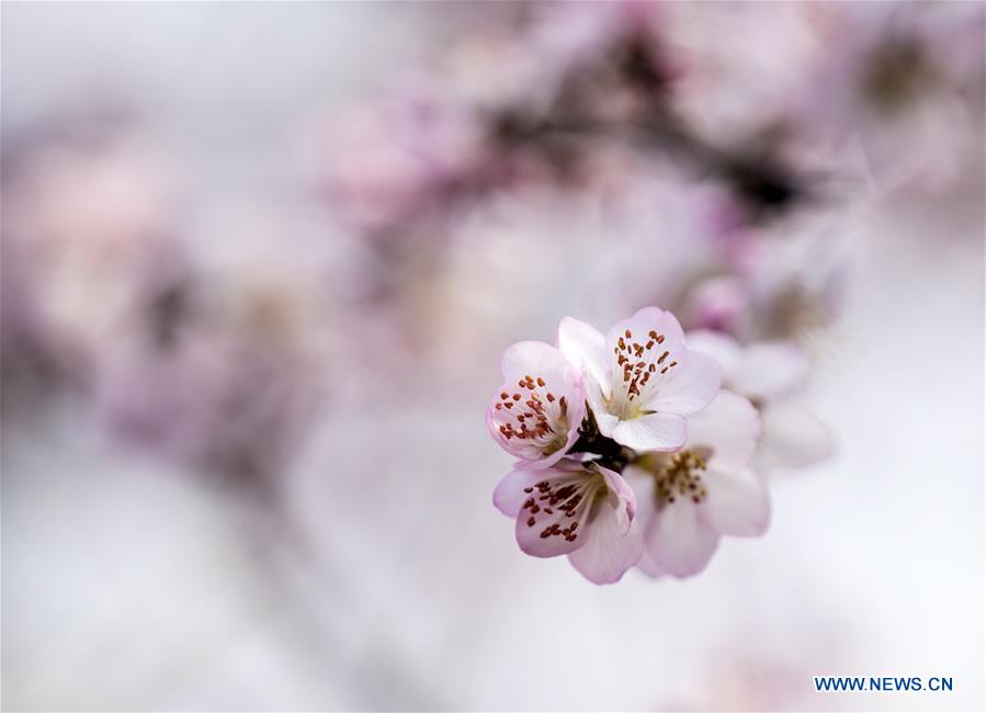 Scenery of peach blossoms in north China's Shanxi