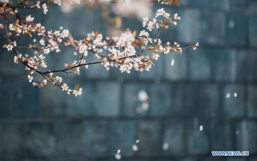 Embrace spring with blooming cherry blossoms