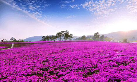 Beautiful creeping phlox blossoms in Jiangsu