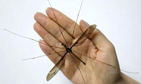 Super-sized mosquito found in Sichuan