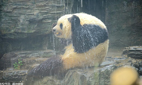 Giant panda enjoys shower amid early summer heat