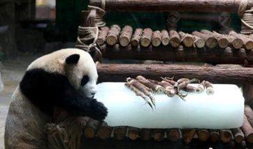 Fujian zookeepers help pandas deal with summer heat