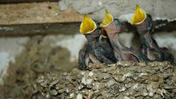 Chinese farmers postpone demolition of old house for young swallows