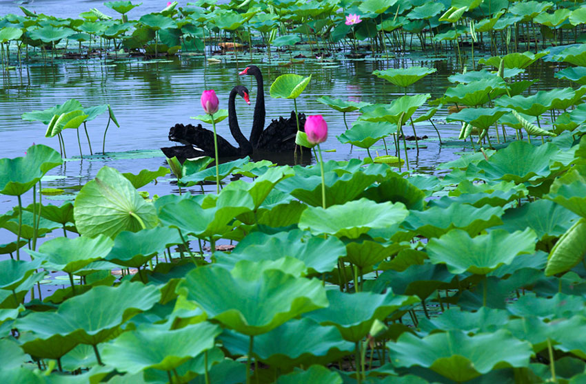 blooming lotus flowers draw tourists to xiongan people s daily online