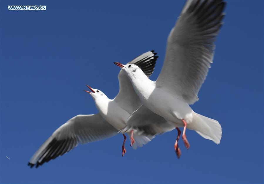 Red-billed gulls at Cuihu Park in Kunming, SW China's Yunnan
