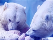 "Polar bears celebrate Lantern Festival by enjoying ""sweet dumplings"""