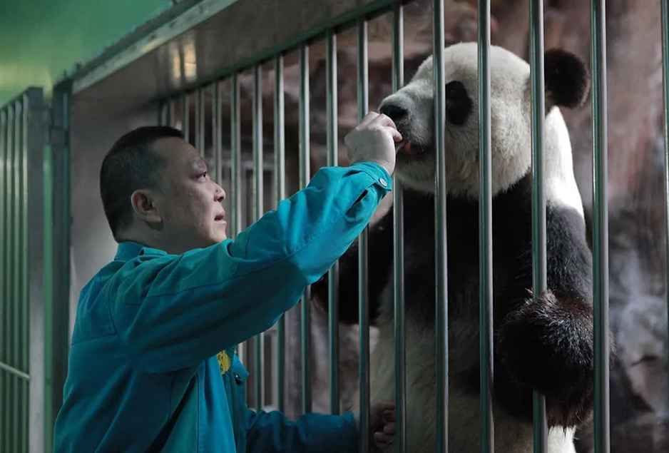 "Panda ""father"" for 30 years"
