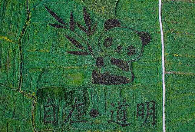 Giant panda pattern seen in SW China rapeseed fields