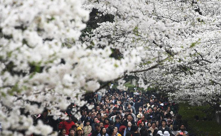 Scenery of cherry blossoms at Wuhan University