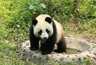 Moscow Zoo head says poised to host pandas from China