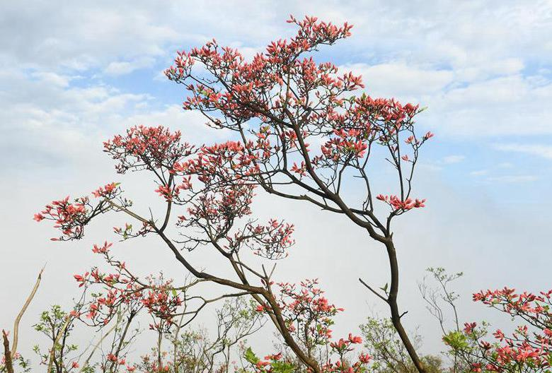 Azalea flowers on Gaomu Mountain in E China's Zhejiang