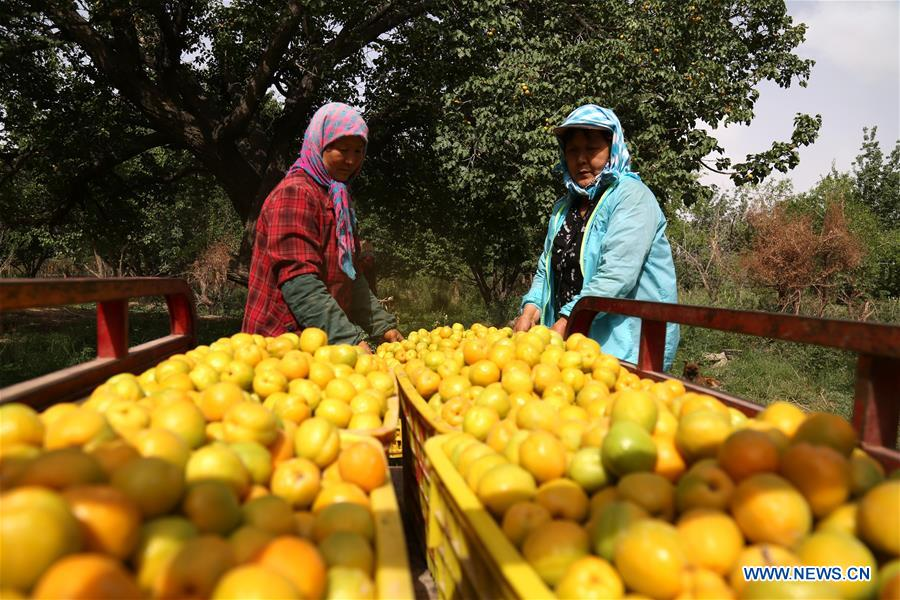 Farmers harvest apricots in NW China's Gansu